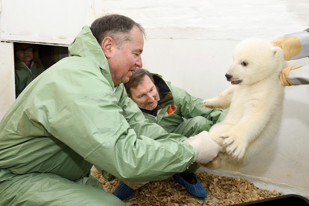Animal doctor and zoo director Andreas Knieriem, center, and animal doctor Guenter Strauss, left, examine a little female polar bear at the zoo in Ber...