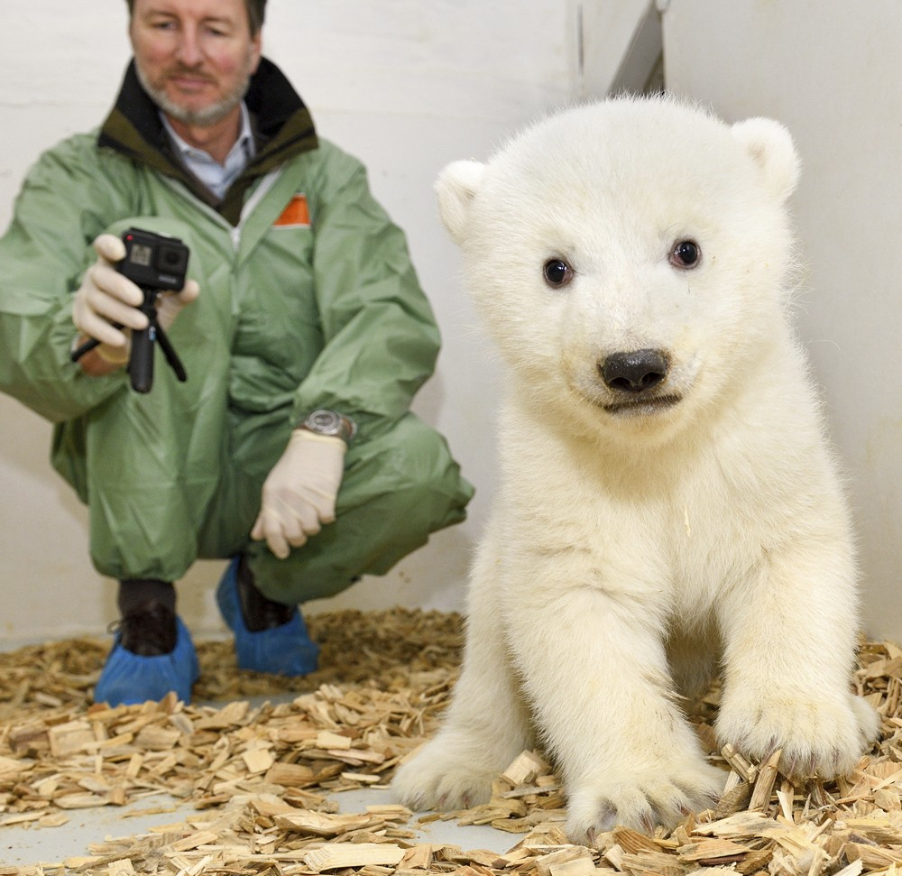 Animal doctor and zoo director Andreas Knieriem examines for the first time a little female polar bear at the zoo in Berlin, Germany, Thursday, Feb. 1...