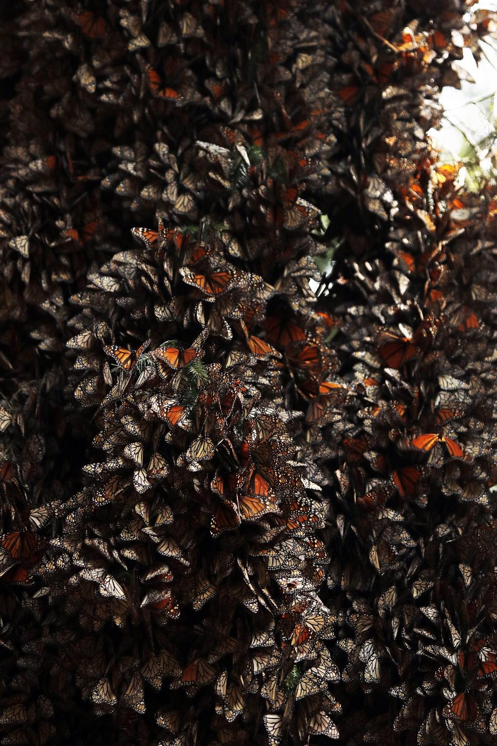 Monarch butterflies cluster in the Amanalco de Becerra sanctuary, on the mountains near the extinct Nevado de Toluca volcano, in Mexico, Thursday, Feb...