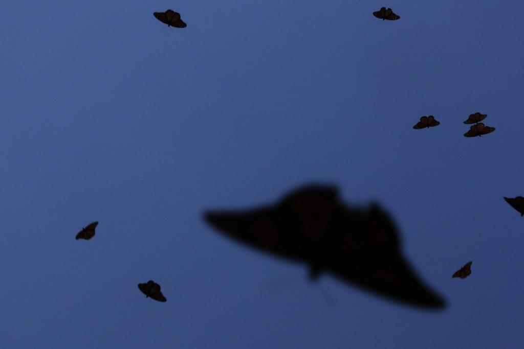 Monarch butterflies fly in the Amanalco de Becerra sanctuary, on the mountains near the extinct Nevado de Toluca volcano, in Mexico, Thursday, Feb. 14...