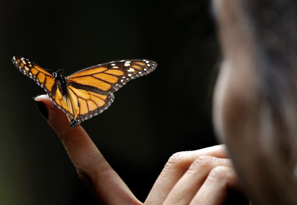 A Monarch butterfly rests on the finger of a woman in the Amanalco de Becerra sanctuary, on the mountains near the extinct Nevado de Toluca volcano, i...