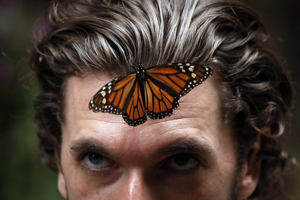 In this Thursday, Feb. 14, 2019 photo, a monarch butterfly rests on a man's forehead at the Amanalco de Becerra sanctuary, in the mountains near the e...
