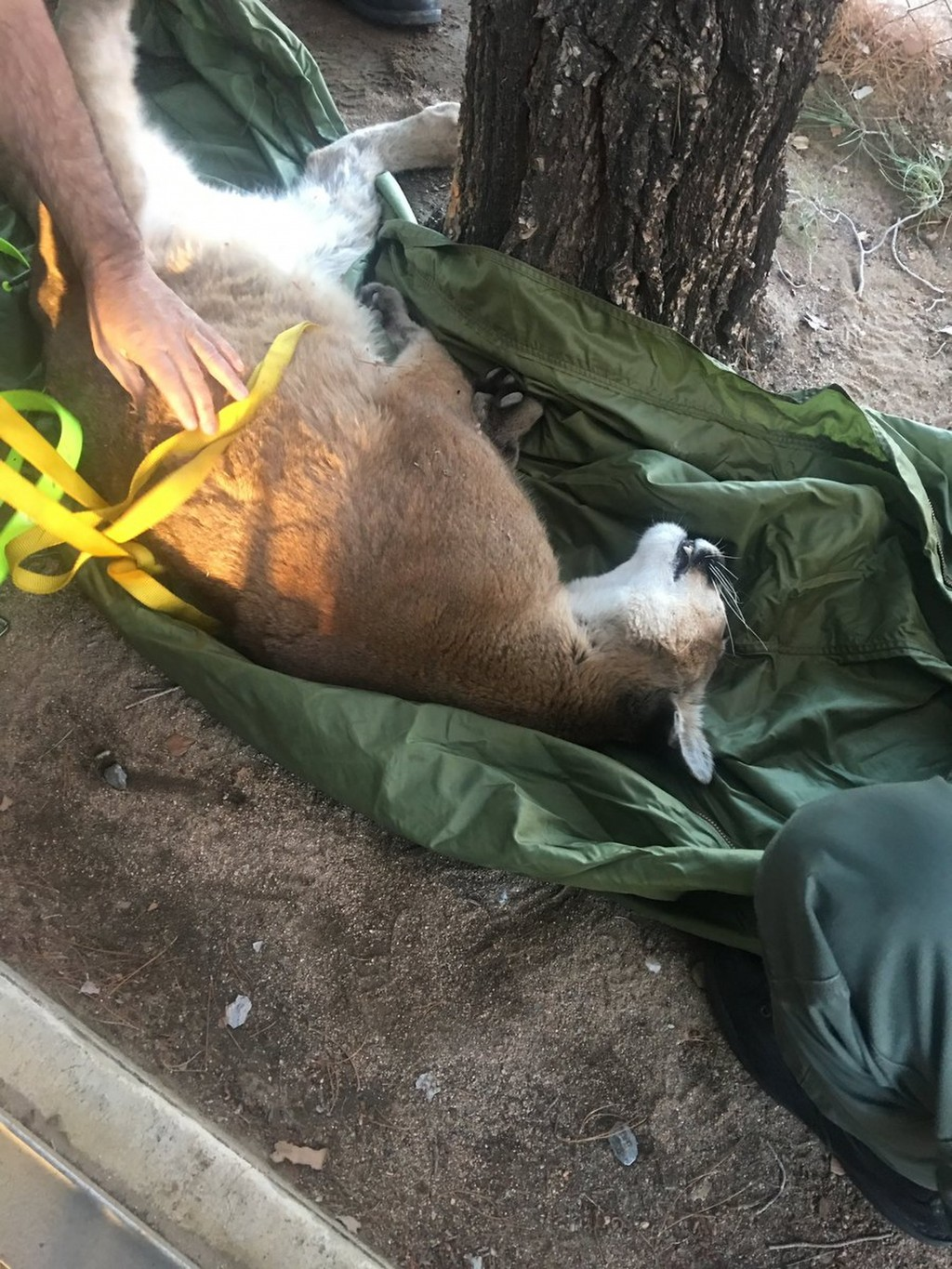 This Saturday, Feb. 16, 2019, photo provided by the California Department of Fish and Wildlife shows a mountain lion that was in a tree outside a priv...