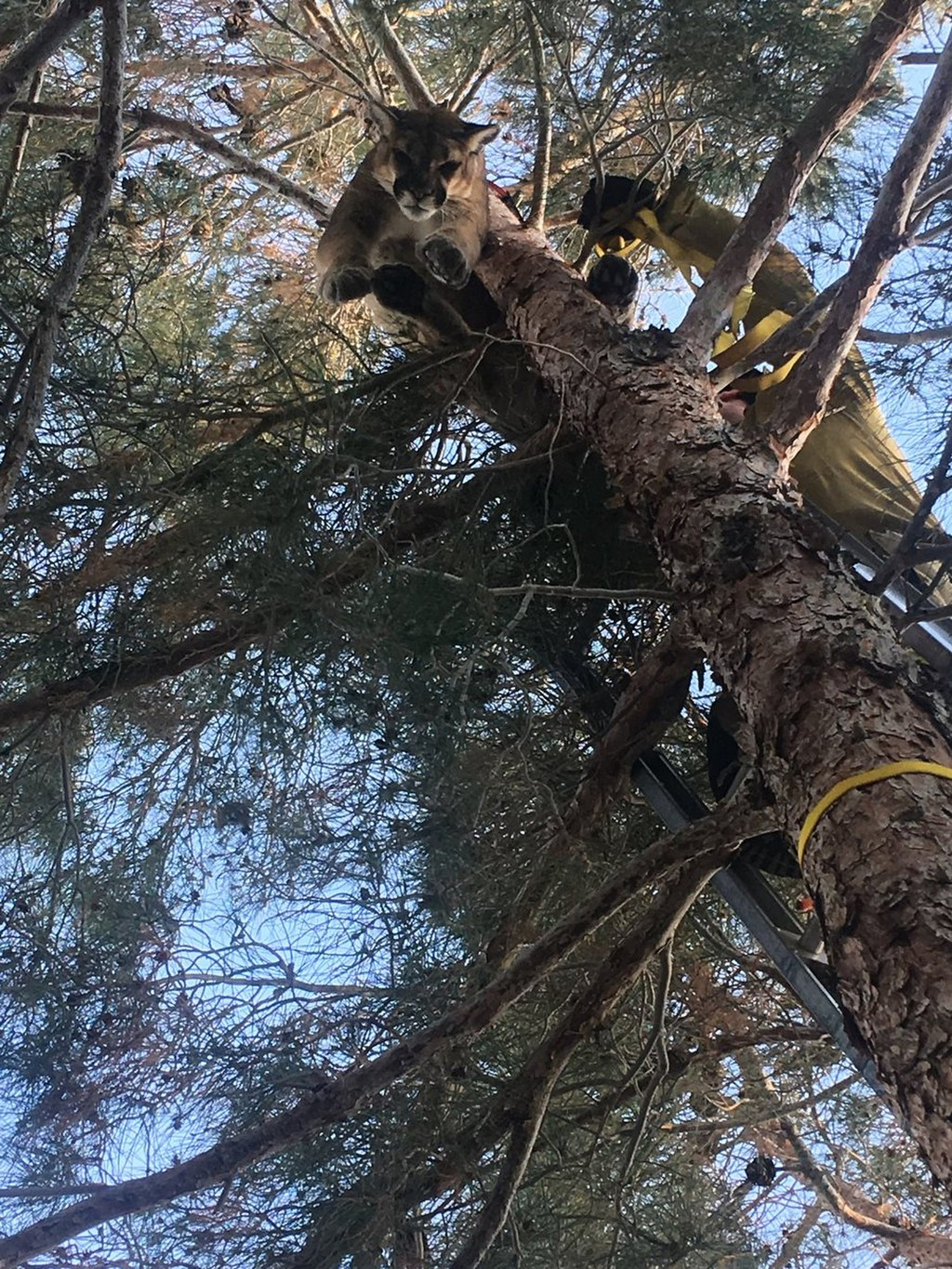 This Saturday, Feb. 16, 2019, photo provided by the California Department of Fish and Wildlife shows a mountain lion in a tree outside a private resid...