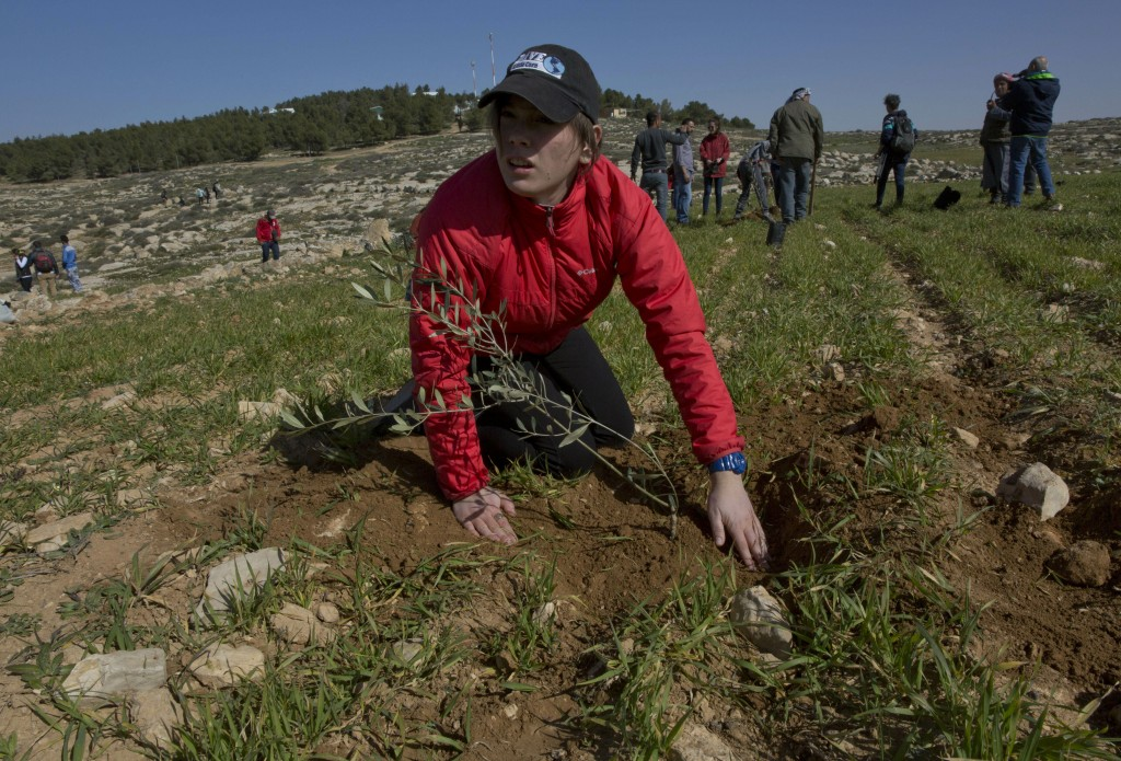 In this Friday, Jan. 25, 2019 photo, young American rabbinical students plant olive trees, on the land near the West Bank village of Attuwani, south o