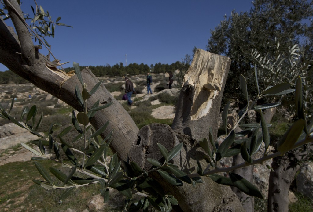 In this Friday, Jan. 25, 2019 photo, young American rabbinical student tour an olive grove that was vandalized by neighboring Israeli settlers, near t