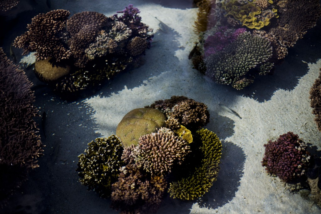 In this Monday, Feb. 11, 2019 photo, healthy corals are exhibited at the marine observatory in the Red Sea city of Eilat, southern Israel. As the outl...