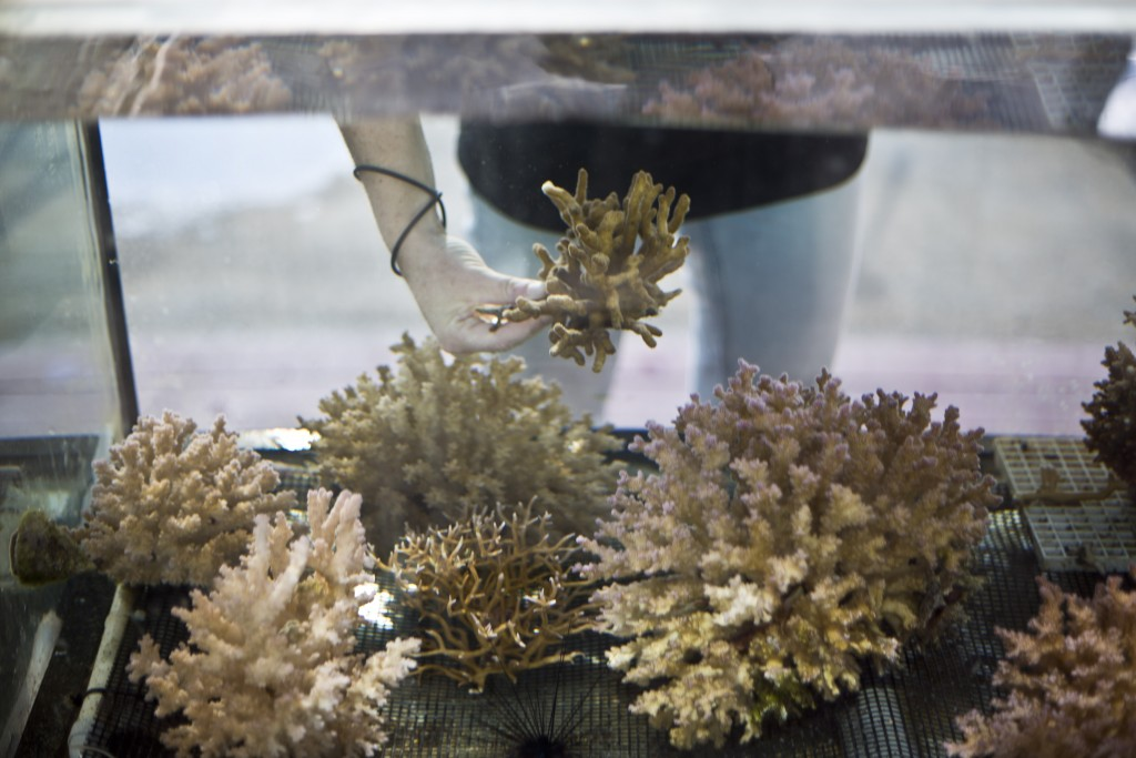 In this Monday, Feb. 11, 2019 photo, Jessica Bellworthy, coral researcher at the Interuniversity Institute for Marine Sciences, IUI, examines coral in...