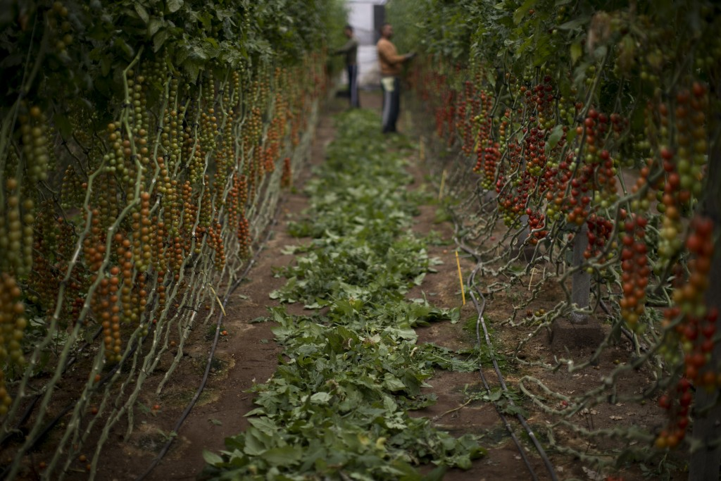 In this Friday, March 1, 2019 photo, Moroccan workers remove the dry leaves before collecting the tomatoes inside a greenhouse in La Canada, a municip...