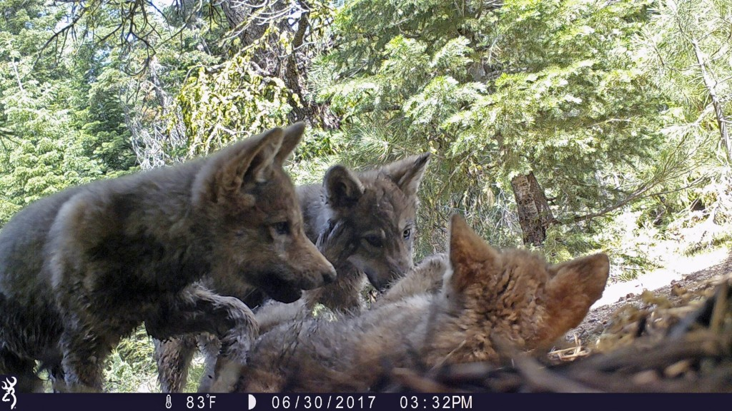 FILE - This June 30, 2017 remote camera image released by the U.S. Forest Service shows a female gray wolf and her mate with a pup born in 2017 in the