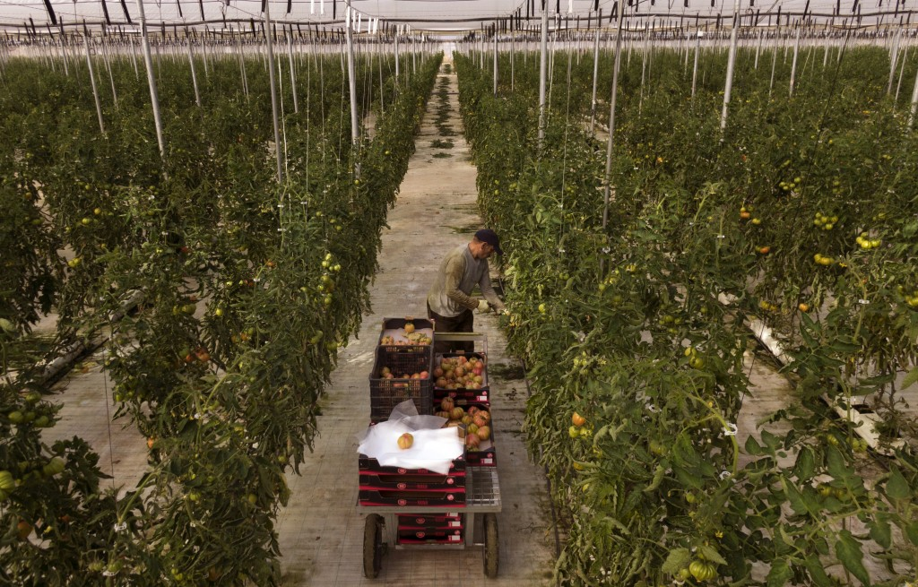 In this Saturday, March 2, 2019 photo, a morrocan worker collects tomatoes at the Gava group greenhouses in Almería, in the autonomous community of An...