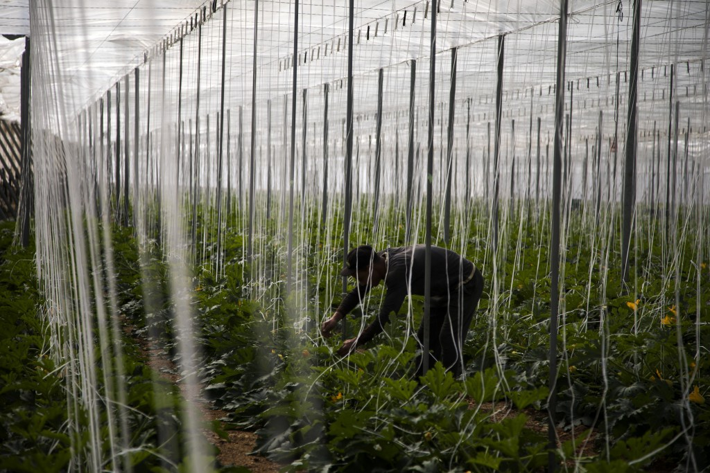 In this Saturday, March 2, 2019 photo, a Moroccan worker collects zucchinis at the Gava group greenhouses in Almería, in the autonomous community of A...
