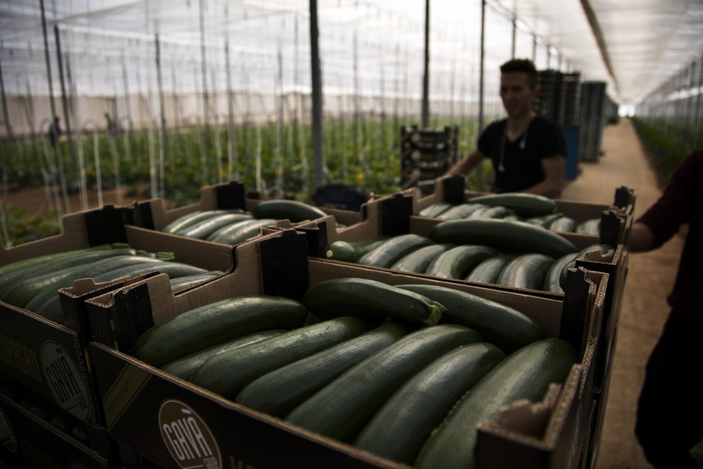 In this Saturday, March 2, 2019 photo, Moroccan workers collect zucchinis at the Gava group greenhouses in Almería, in the autonomous community of And...