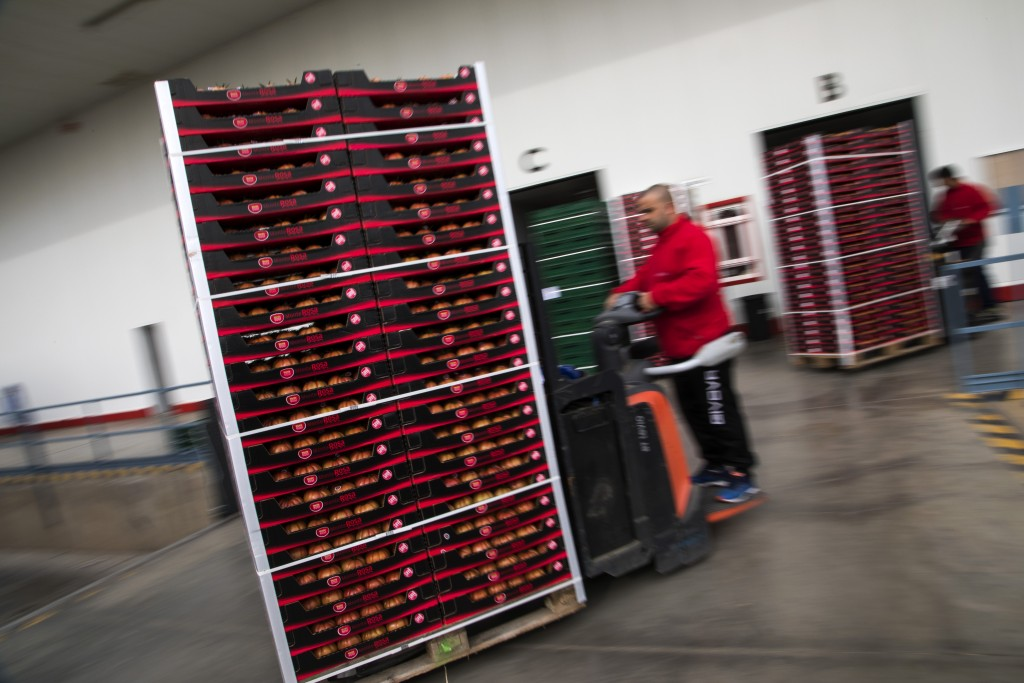 In this Saturday, March 2, 2019 photo, workers move boxes with tomatoes inside the Gava group warehouse in Almería, in the autonomous community of And...