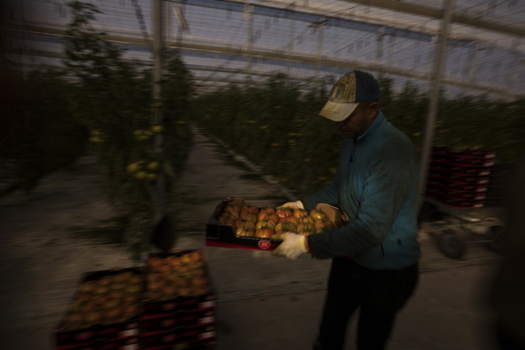In this Saturday, March 2, 2019 photo, Moroccan workers collect tomatoes at the Gava group greenhouses in Almería, in the autonomous community of Anda...