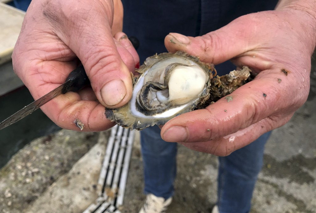 In this Friday, March 8, 2019 photo, Branko Radic, an oyster farmer opens an oyster shell in Mali Ston, southern Croatia.  Authorities have detected n...