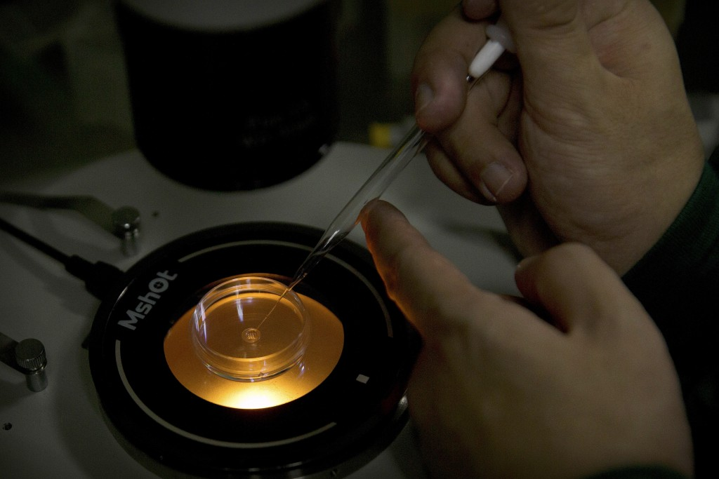FILE - In this Oct. 9, 2018 file photo, Qin Jinzhou deposits an embryo into a microplate after injecting it with injecting Cas9 protein and PCSK9 sgRN