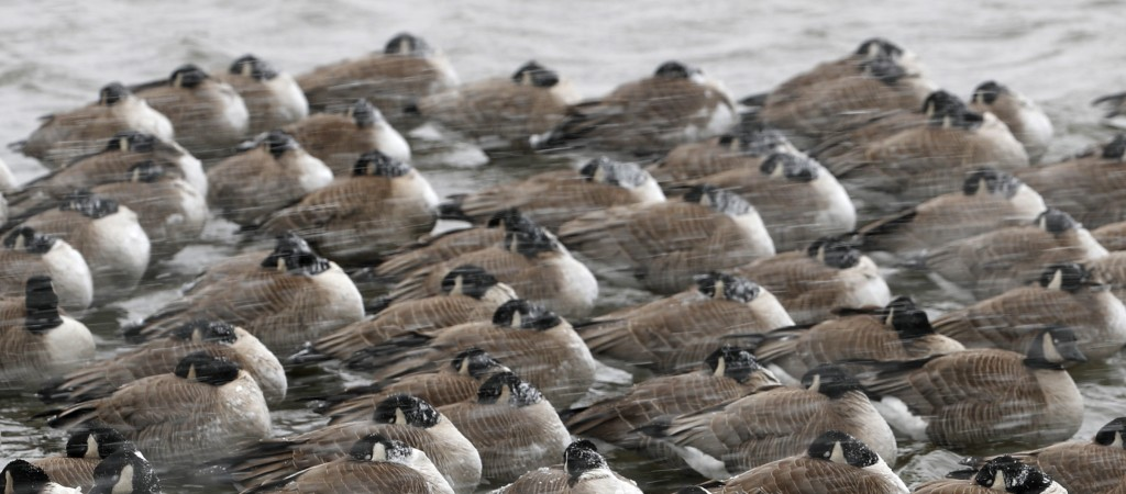 Canada geese battle choppy water as a late winter storm packing hurricane-force winds and snow sweeps over the intermountain West Wednesday, March 13,