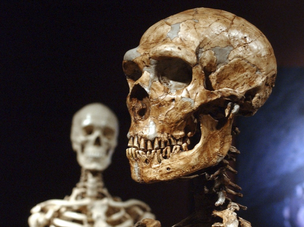FILE - This Jan. 8, 2003 file photo shows a reconstructed Neanderthal skeleton, right, and a modern human version of a skeleton, left, on display at t