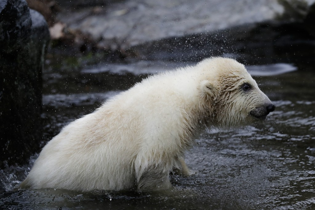A female polar bear baby stand in the water at its enclosure at the Tierpark zoo in Berlin, Friday, March 15, 2019. The still unnamed bear, born Dec.