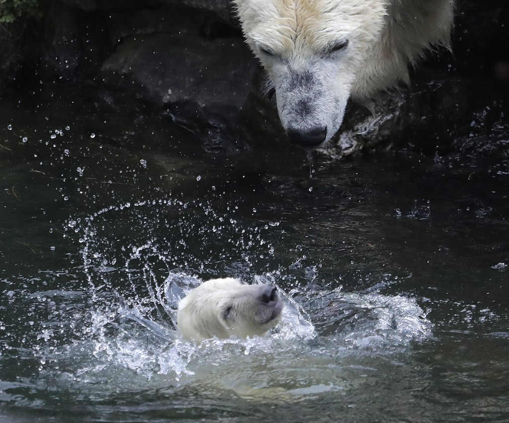 A female polar bear baby swims with its mother Tonja through their enclosure at the Tierpark zoo in Berlin, Friday, March 15, 2019. The still unnamed