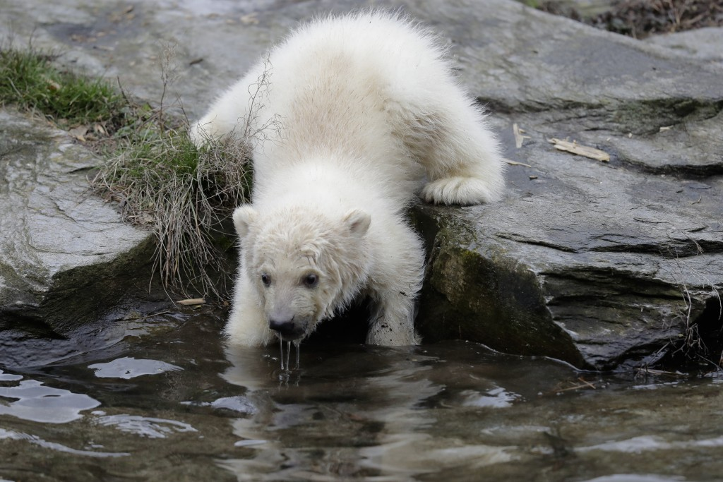 A female polar bear baby walks through its enclosure at the Tierpark zoo in Berlin, Friday, March 15, 2019. The still unnamed bear, born Dec. 1, 2018