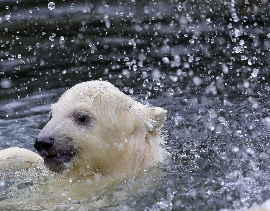 A female polar bear baby swims in its enclosure at the Tierpark zoo in Berlin, Friday, March 15, 2019. The still unnamed bear, born Dec. 1, 2018 at th