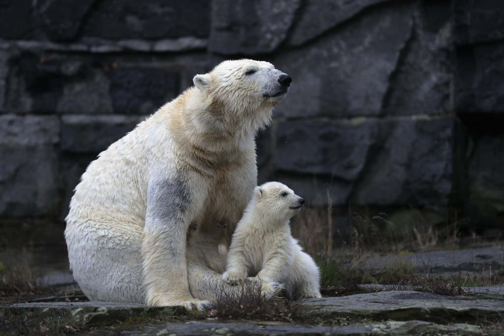 A female polar bear baby sits with its mother Tonja inside their enclosure at the Tierpark zoo in Berlin, Friday, March 15, 2019. The still unnamed be