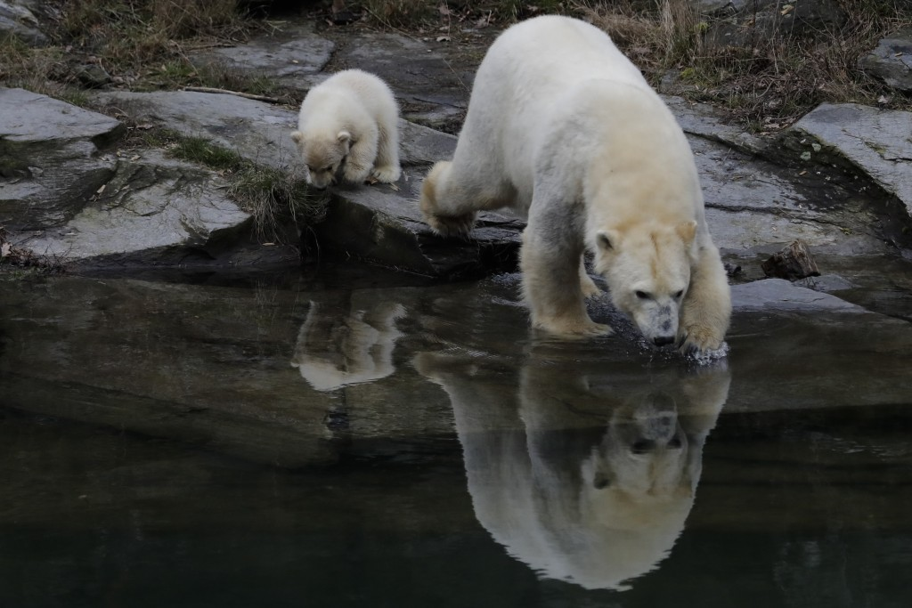 A female polar bear baby walks with its mother Tonja through their enclosure at the Tierpark zoo in Berlin, Friday, March 15, 2019. The still unnamed