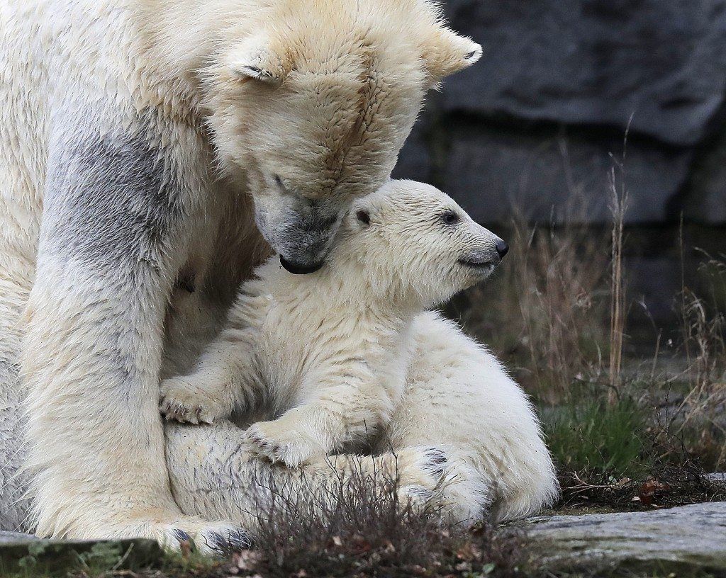 A female polar bear baby sits with its mother Tonja through their enclosure at the Tierpark zoo in Berlin, Friday, March 15, 2019. The still unnamed b