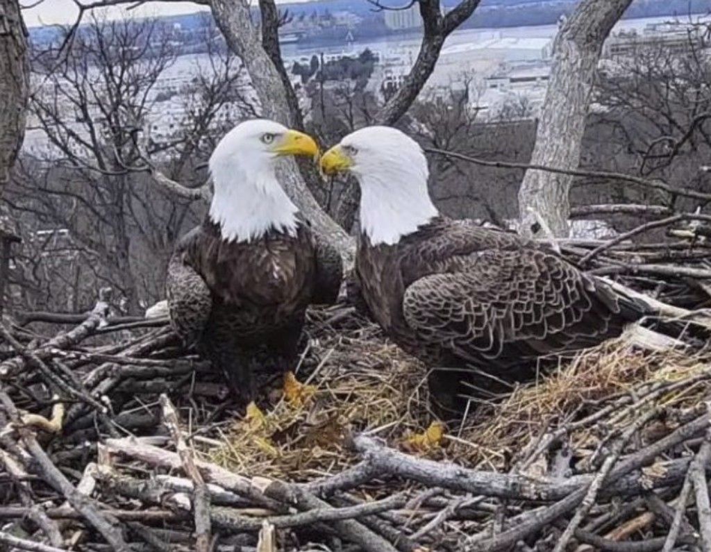 This March 4, 2019, image from video provided by Earth Conservation Corps Eagle Cam, shows Bald Eagles Liberty and Justice on their nest in Washington