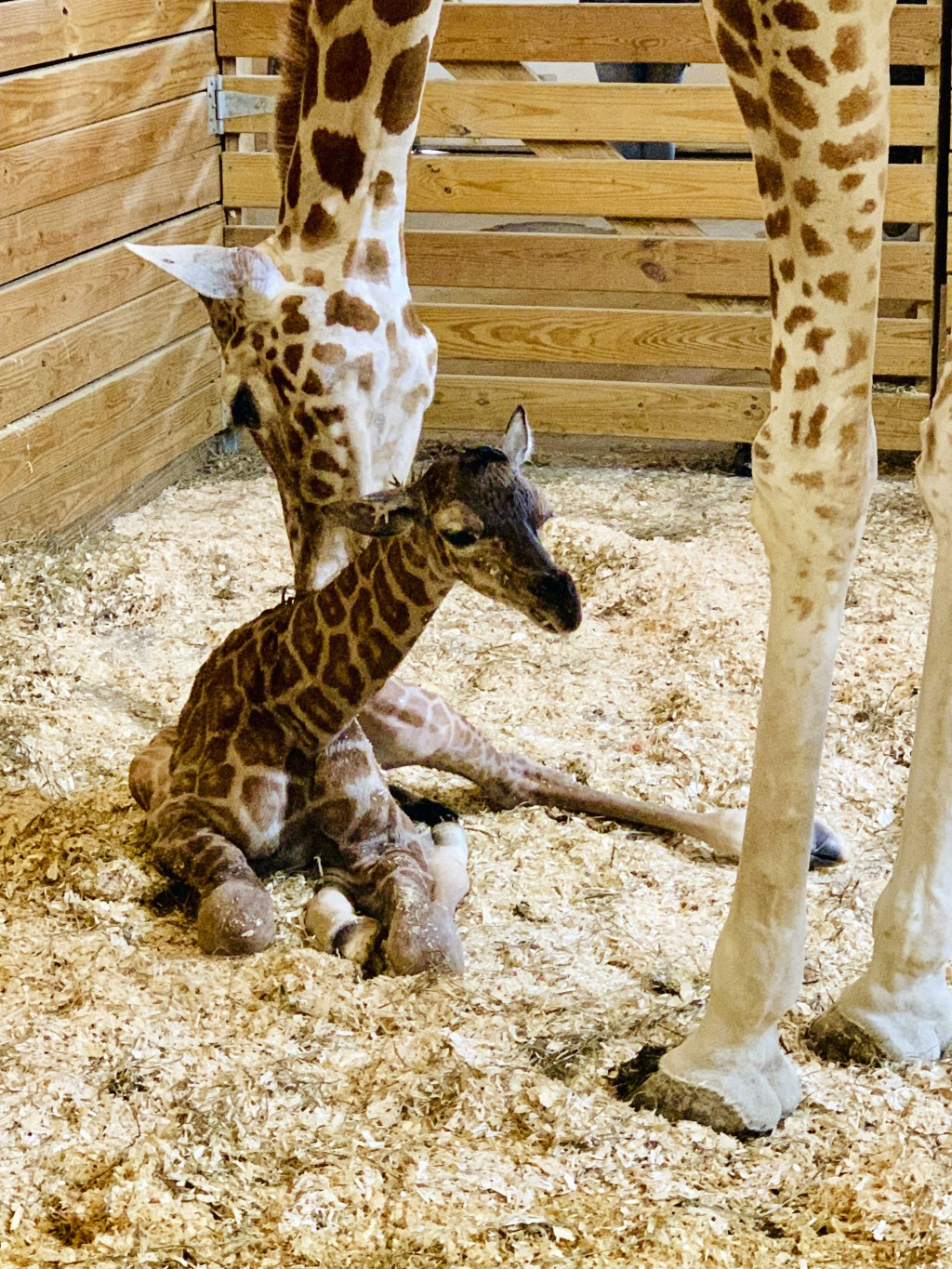 This photo provided by Animal Adventure Park shows April the Giraffe with her new  male calf on Saturday, March 16, 2019 in Harpursville, N.Y.  The An