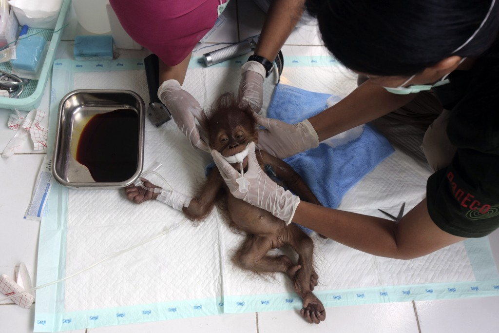 In this Sunday, March 17, 2019, file photo, a veterinarian and a volunteer of Sumatra Orangutan Conservation Programme (SOCP) tend to a three-month ol...