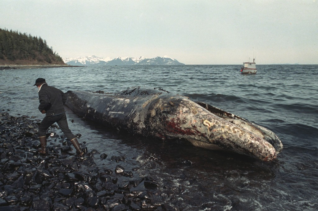 FILE - In this photo taken April 9, 1989, file photo, a local fisherman inspects a dead California gray whale on the northern shore of Latouche Island