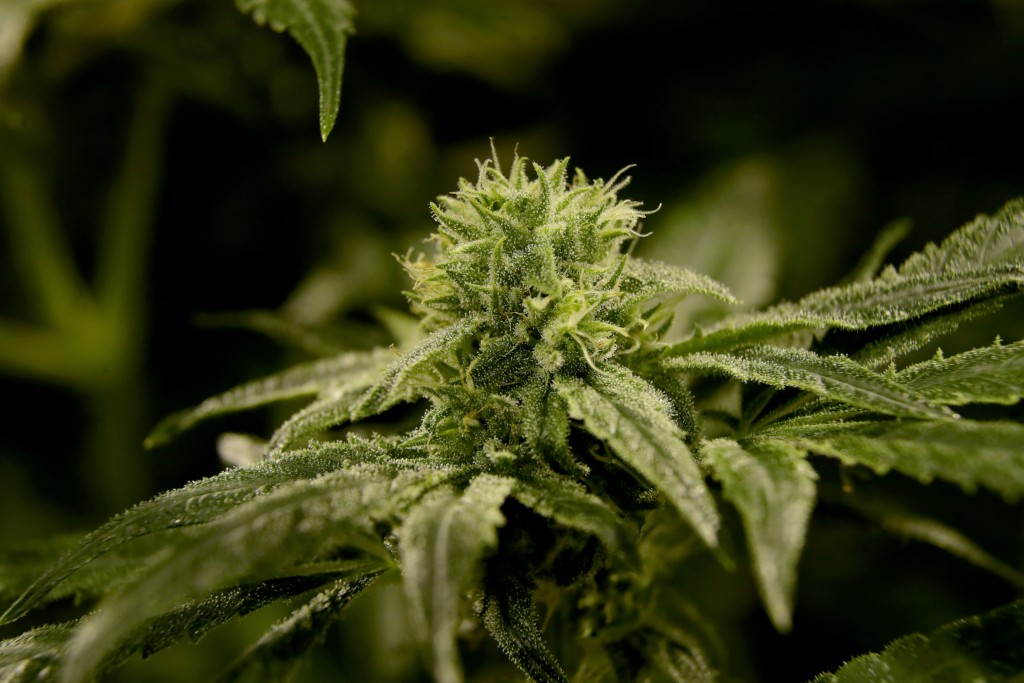 In this Friday, March 22, 2019 photo, a bud is seen on a marijuana plant at Compassionate Care Foundation's medical marijuana dispensary in Egg Harbor