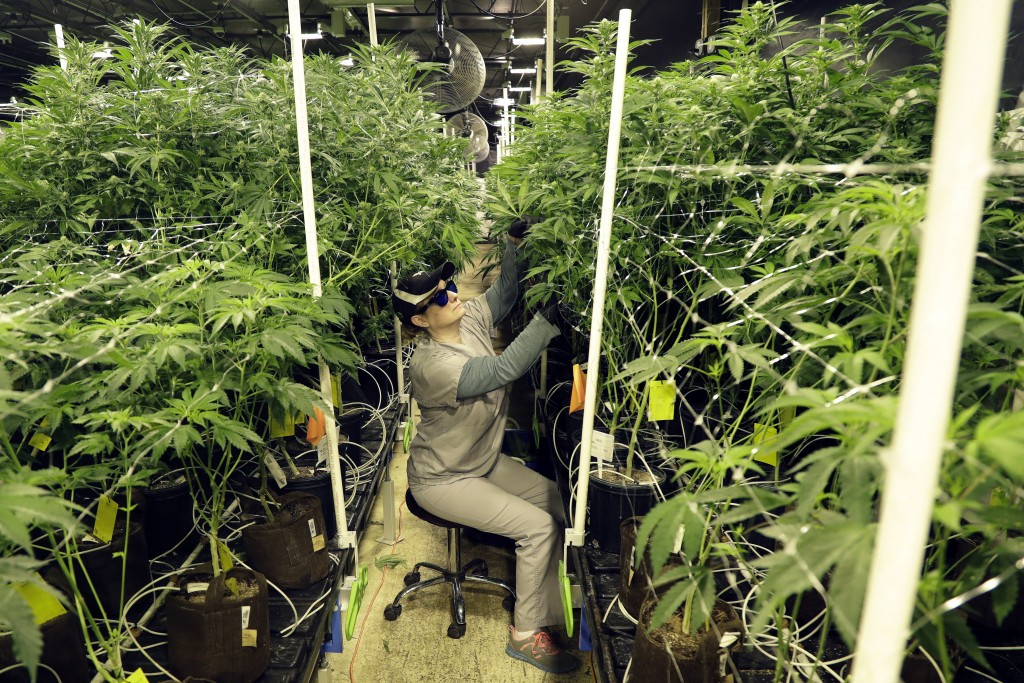In this Friday, March 22, 2019 photo, Heather Randazzo, a grow employee at Compassionate Care Foundation's medical marijuana dispensary, trims leaves