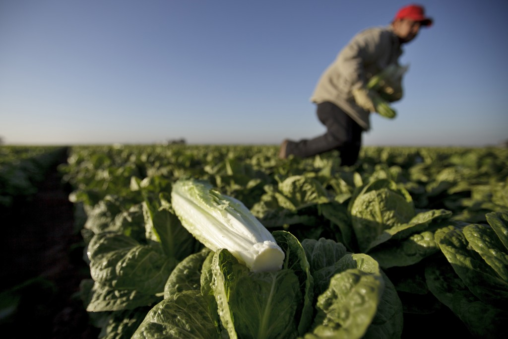 FILE - In this Jan. 31, 2012 file photo, a farm worker carries heads of romaine lettuce in a field near Holtville, Calif. In a Nov. 15, 2018 email, Ja...