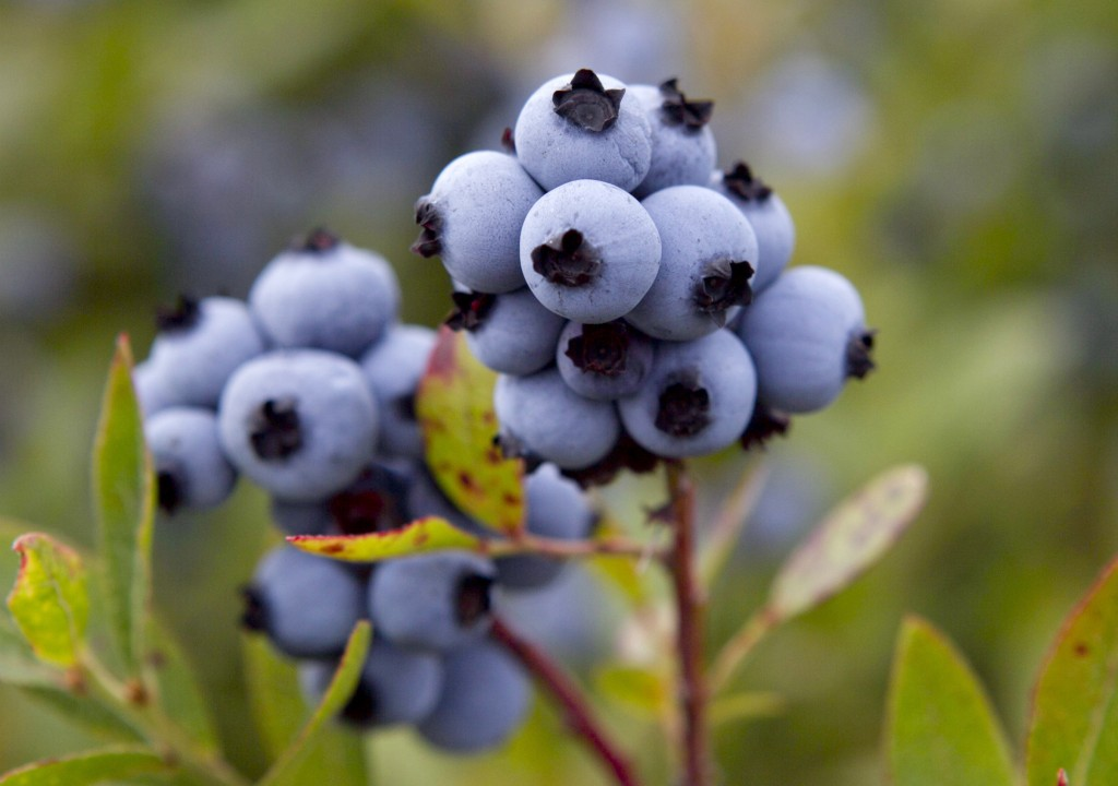FILE - In this July 27, 2012 file photo, wild blueberries await harvesting in Warren, Maine. A legislative committee is considering a bill in 2019 to ...