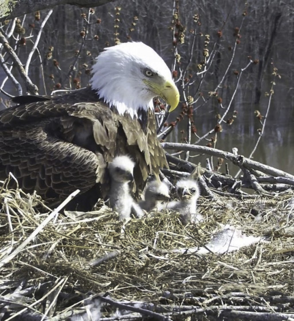 In this April 6, 2019 still photo from video provided by the Stewards of Upper Mississippi River Refuge, in Thompson, Ill., shows one female bald eagl