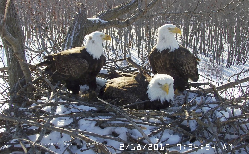 In this Feb. 18, 2019 still photo from video provided by the Stewards of Upper Mississippi River Refuge. in Thompson, Ill., shows two males Valor I an