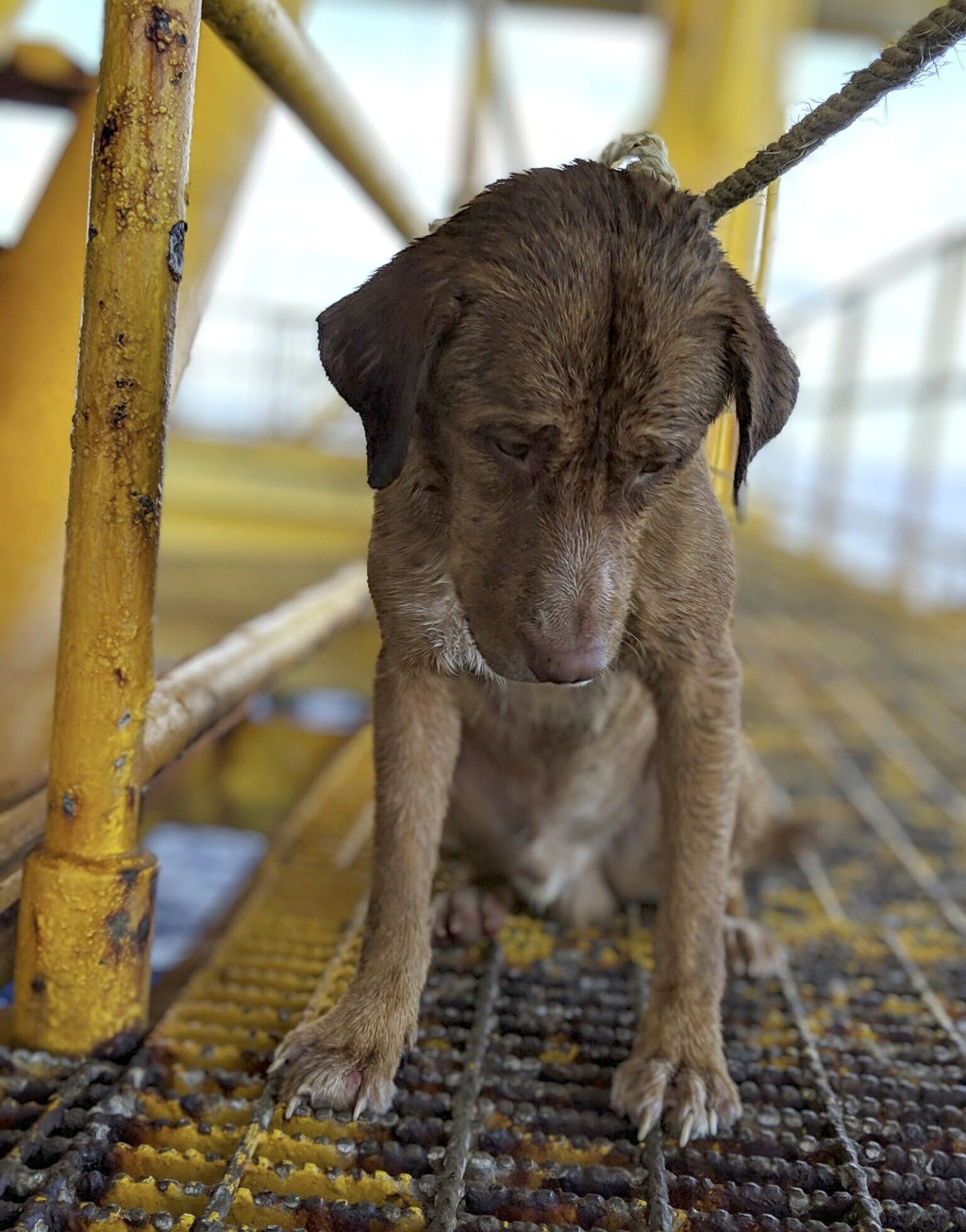 In this Friday, April 12, 2019, photo, a dog sits on an oil rig after being rescued in the Gulf of Thailand. The dog found swimming more than 220 kilo