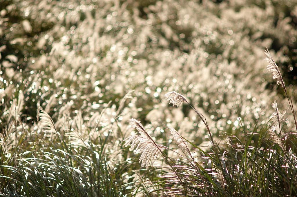 11月正值陽明山芒草季,21日陽明山擎天崗天氣晴朗,白茫茫的芒草在陽光照射後更顯其特色。中央社記者吳家昇攝