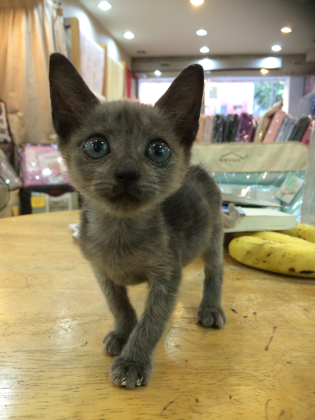 Kitten adopted at a Hsinchu shelter.