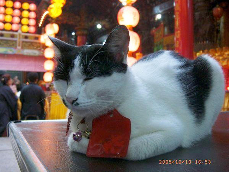 三重義天宮收養了許多流浪貓,他們與神明和諧共存, 不僅得香客寵愛,也吸引不少國內外觀光客。圖中的貓 咪「妞妞」於2009年前後死亡,後被愛