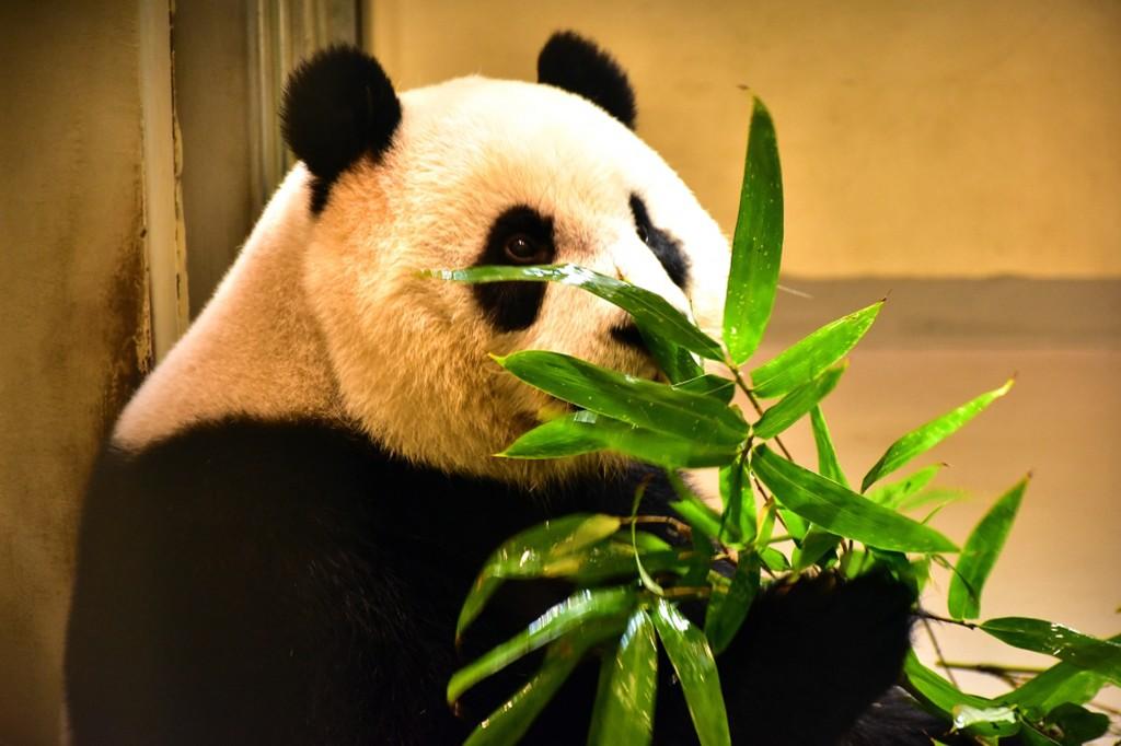臺北市立動物園圈養的大貓熊圓仔(照片來源:臺北市立動物園提供)