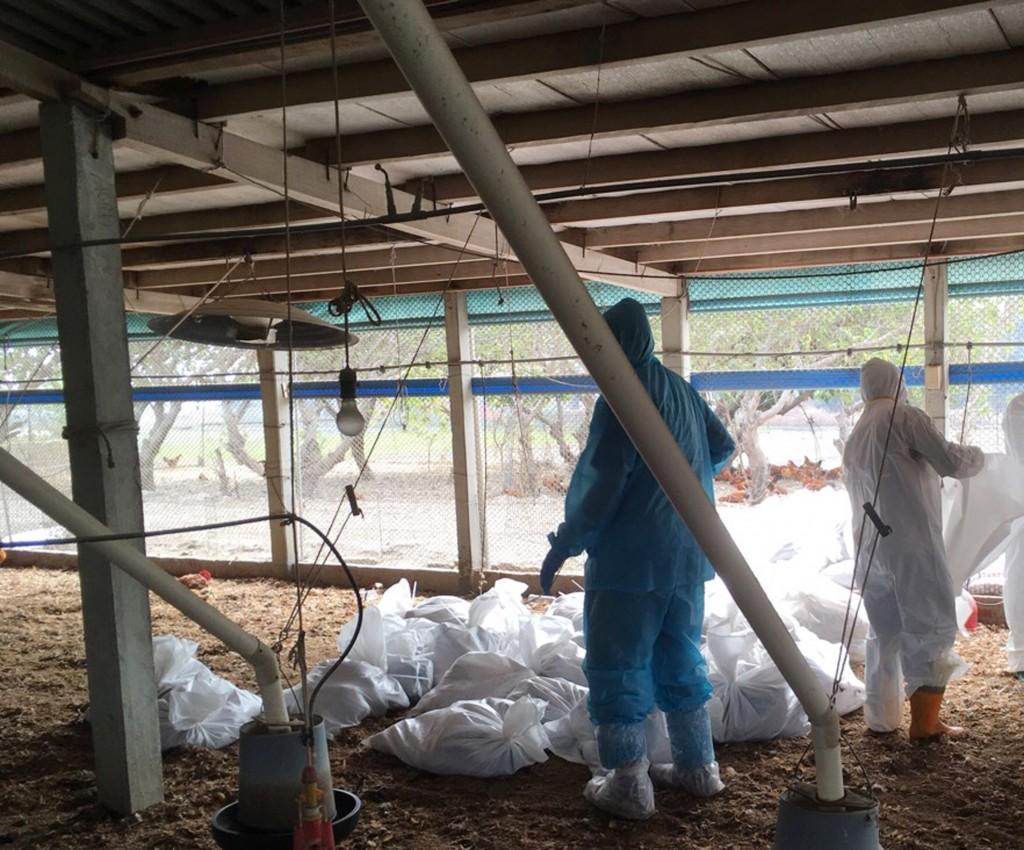 彰化縣鹿港鎮一處土雞場被確診感染H5N2亞型高病原性 禽流感病毒,防疫人員16日進行全場撲殺及消毒,共撲 殺6958隻土雞。 (彰化