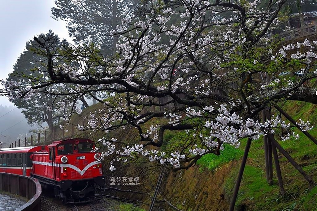 Cherry blossoms along Alishan Forest Railway.