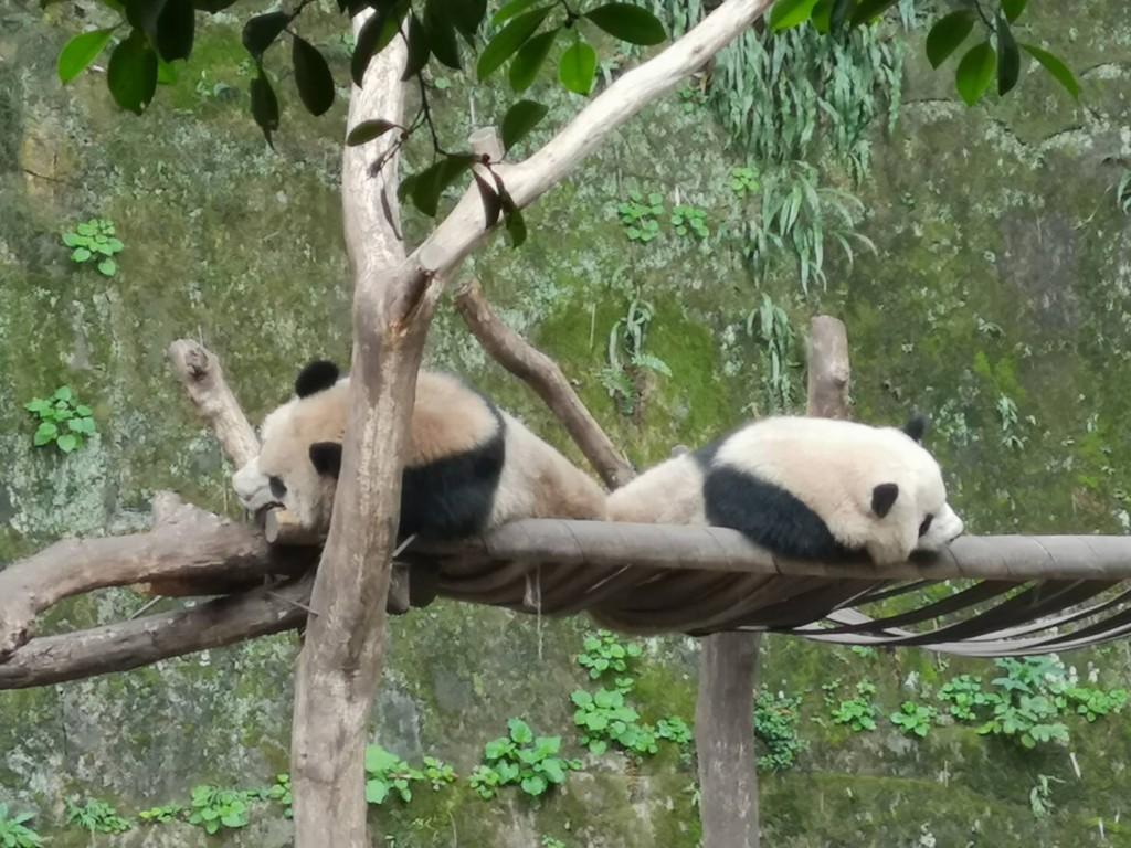 Two pandas from Chongqing Zoo, China (Source: CNA/File photo)