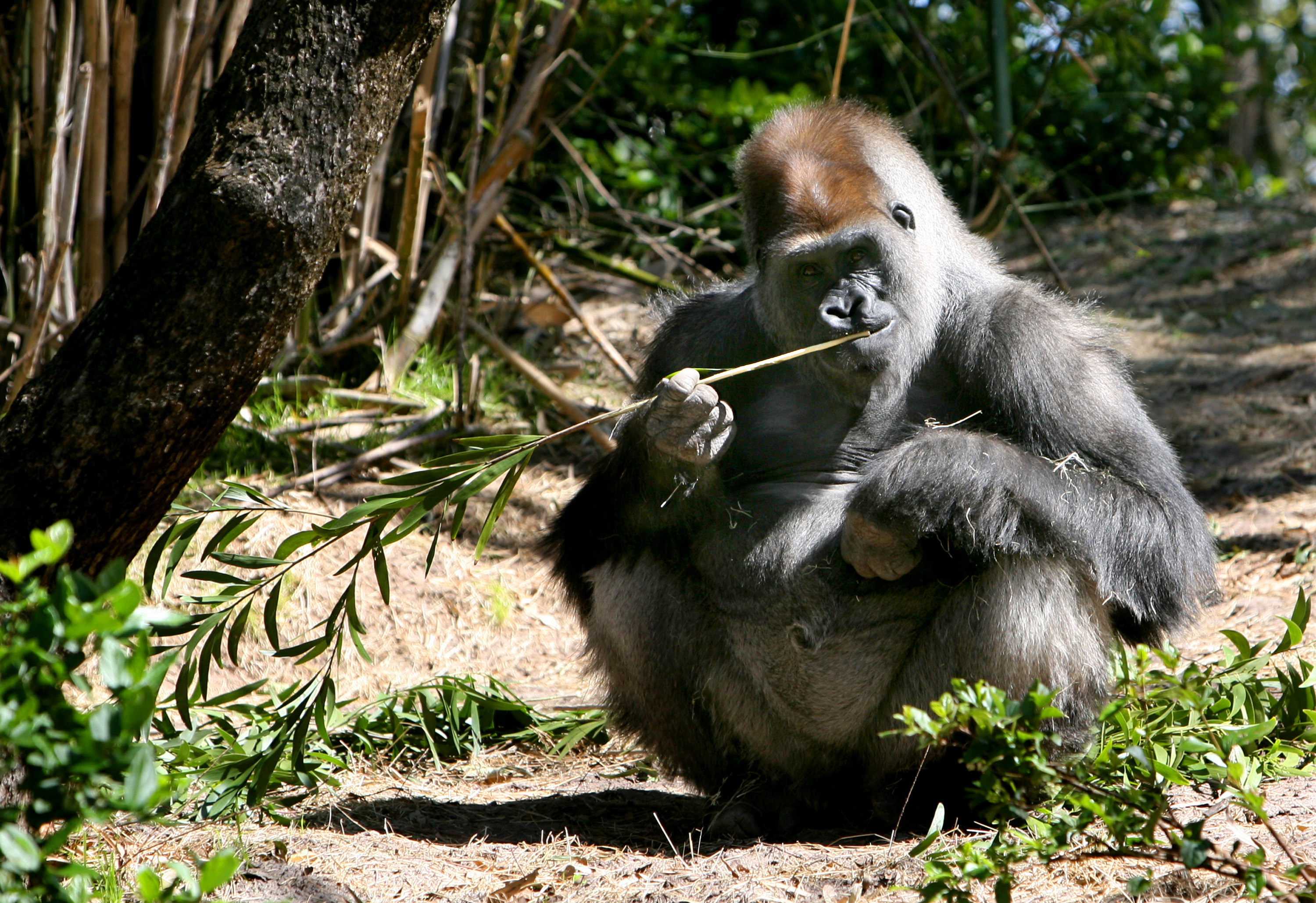 Zawadi, a 17-year-old Lowland gorilla, chews on bamboo at the Pangani Forest Exploration Trail at Disney's Animal Kingdom in Orlando, Florida on March...