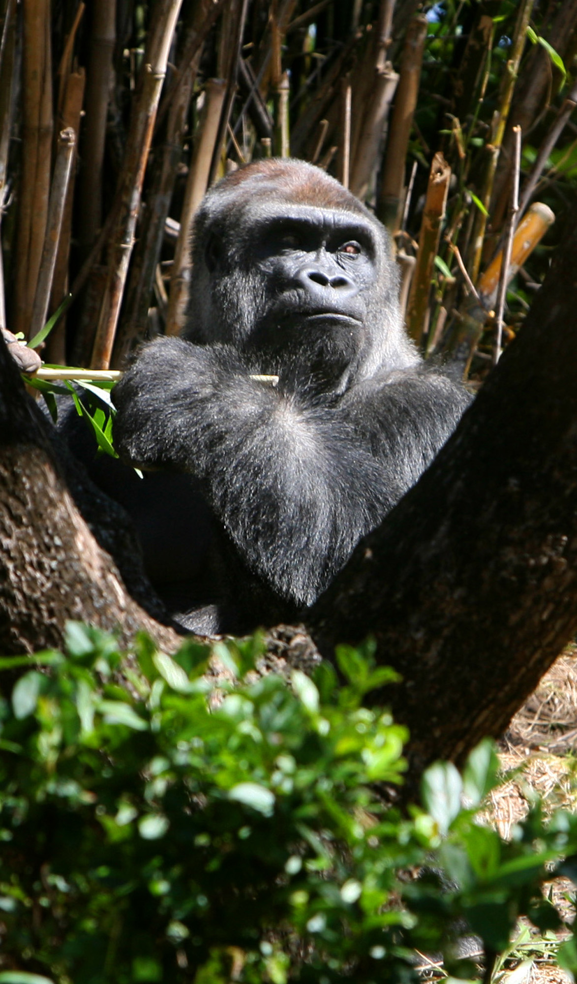 Zawadi, a 17-year-old Lowland gorilla, eyes guests at the Pangani Forest Exploration Trail at Disney's Animal Kingdom in Orlando, Florida on March 4.